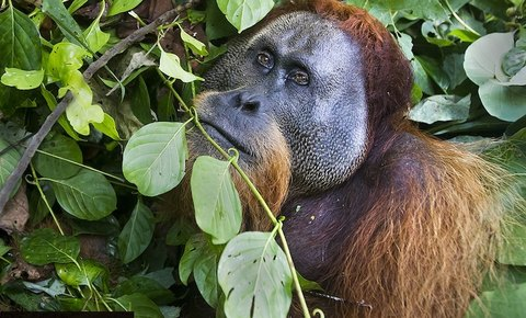 Leuser Ecosystem: Global Conservation Supporting Rainforest Action Network (RAN)