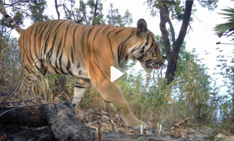Tigers caught on video in western Thailand rekindle hope for recovery