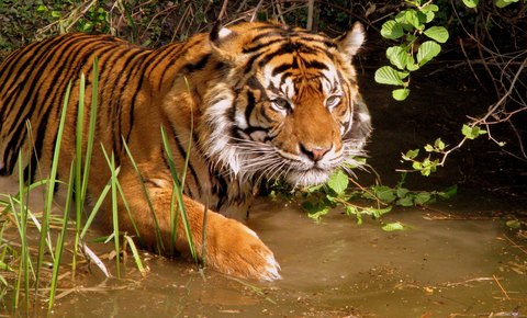 New Discovery of Second Tiger Population in Thailand Found in Thap Lan World Heritage Park