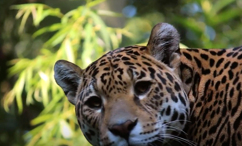 Major Bi-National Jaguar and Prey Population Study Completed