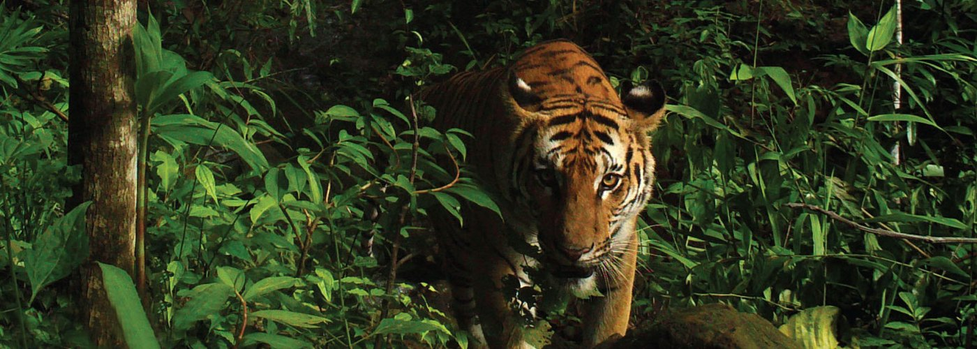 Cubs offer hope for Indochinese tigers in Thap Lan National Park, Thailand