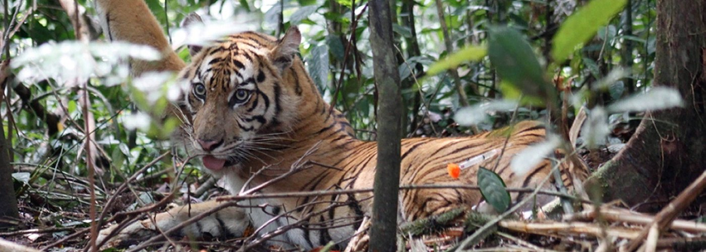 Tiger Brokers Arrested by Leuser National Park Forest Rangers and Indonesian Police