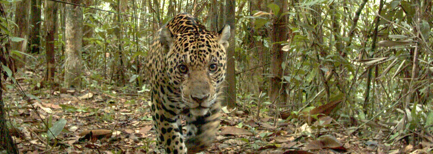 First Mirador Jaguar Population and Density Study with Calakmul, Mexico