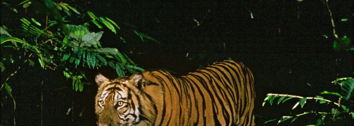 Leuser Ecosystem: Tiger Poacher and Trader Arrested by Indonesian Police and Forest Rangers