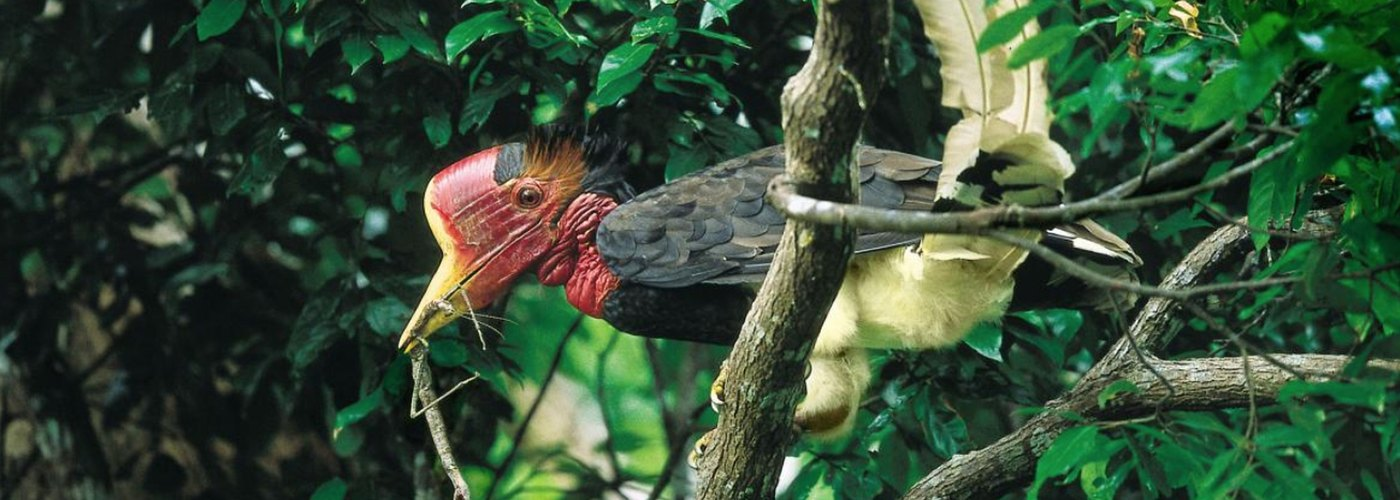 Fighting in Asia's National Parks to Save the Helmeted Hornbill
