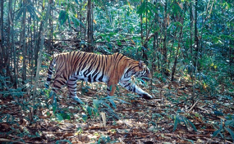 see tigers in thailand